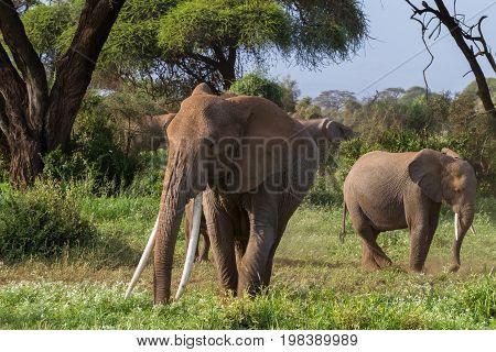 Big african elephant with long tusks. Kenya, Africa