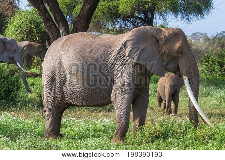 African elephant with vary long tusks. Kenya, Africa