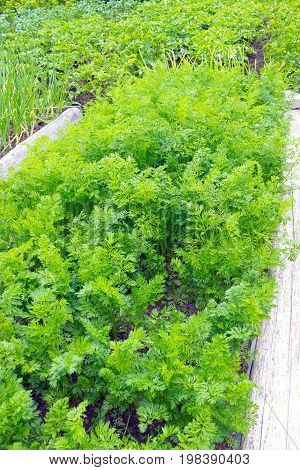 Vegetable kitchen-garden with young carrot plants. Photo of carrot harvest for eco cookery business. Organic fersh food. Antioxidant kitchen vegetables on eco farm garden bed. Selective soft focus