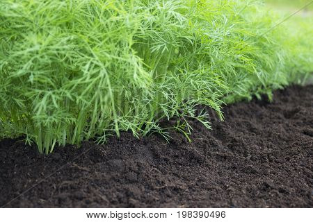 Herb kitchen-garden with young green dill plants. Photo of dill harvest for eco cookery business. Organic food fresh spice. Antioxidant kitchen herbs on the eco farm garden bed. Selective soft focus