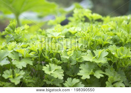 Herb kitchen-garden with young green parsley plants. Organic food fresh spice. Photo of harvest for eco cookery business. Antioxidant kitchen herbs on the eco farm garden bed. Selective soft focus