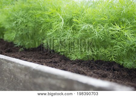 Young dill plants on the kitchen garden. Photo of dill harvest for eco cookery business. Selective soft focus. Organic food fresh spice on soil. Antioxidant kitchen herbs on the eco farm garden bed.