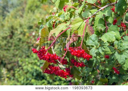 The branches of the beautiful guelder-rose or Viburnum opulus shrub are bending from the heavy load of the many bright red berries on a sunny day in the Dutch summer season.