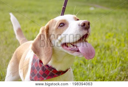 Happy beagle puppy against the background of green grass (selective focus on the puppy eyes)