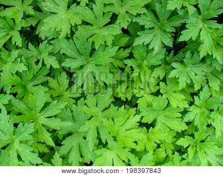 Neutral abstract floral background of beautiful geranium leaves of Palmatipartite form. A pattern of the green leaves of irregular shape that are scattered chaotically