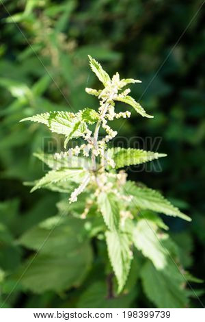 stinging nettle urtica leaf close up blooming