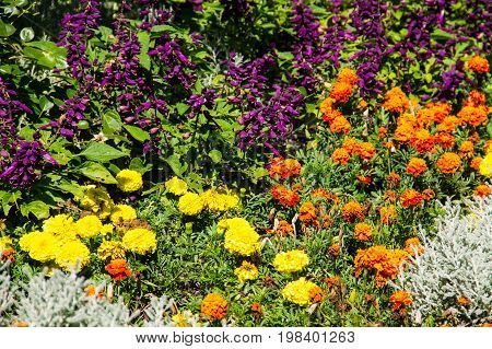 Flowerbed With Yellow Marigolds And Purple Salvia Flowers