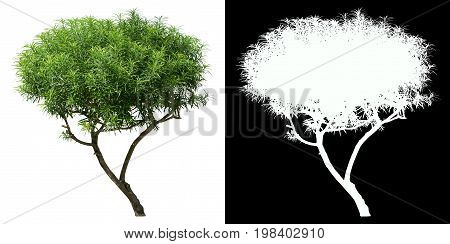 Oleander tree isolated on white with alpha channel mask for easy selection