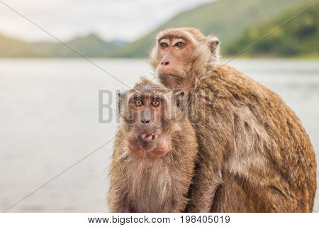 Two monkey are eating a banana beside the lake and mountain background Thailand.