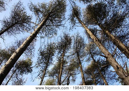 Tall pine trees with a diminishing perspective