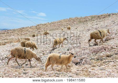 sheep running free while hiking in Baska, island Krk in Croatia