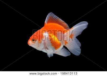 The cute goldfish isolated on black background.