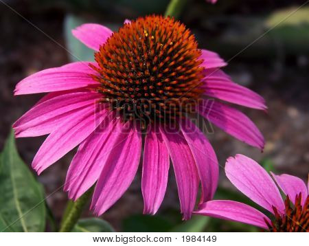 Close Up Of A Purple Coneflower