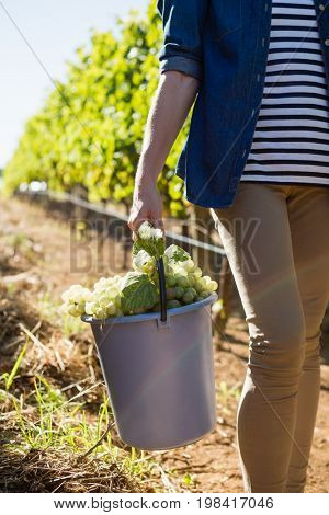 Mid section of female vintner holding harvested grapes in bucket at vineyard