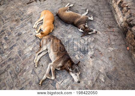 Three sleeping dogs on the streets of Varanasi, India.
