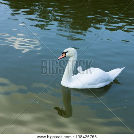 Beautiful mute swan on water of pond