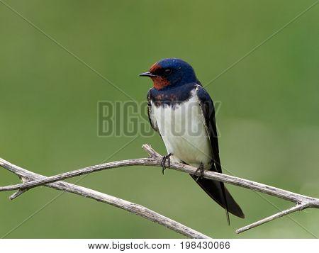 Swallow (Hirundo rustica) outdoor