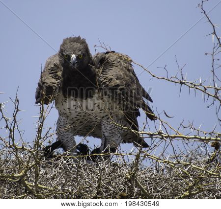 Martial Eagle in a mid afternoon with its hunt, a bird in its talons on the nest, in Serengeti national Park, Tanzania