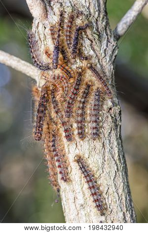 Large hoard of gypsy moth caterpillar infesting a oak tree limb.