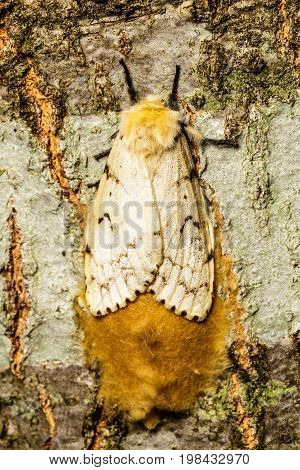 Female gypsy moth gaurding over her large egg nest on the side of a tree limb.