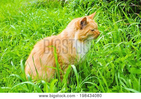 Cute red cat eating green grass outdoors