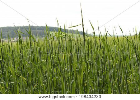Barley field in front of village/Barley is a member of the grass family, is a major cereal grain grown in temperate climates globally.