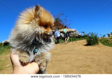 Tiny pom dog in hand in sunny day and blue sky