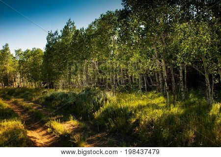 A beautiful grove of Aspen trees found on the Colorado Wyoming border at sunset