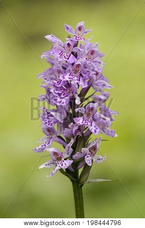 Common Spotted Orchid - Dactylorhiza fushsii against diffused bakground