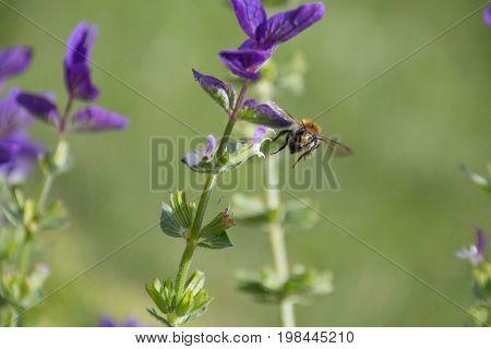 Flying Honeybee collecting pollen from purple flowers