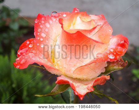 Single Bi-Color Coral and Ivory Rose in the Garden After a Morning Rain