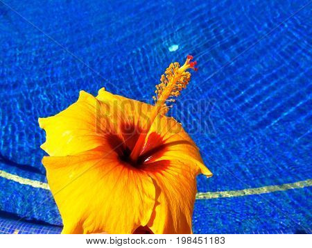 Spectacular Blooming Yellow, Orange, and Red Hibiscus in Front of a Luxurious Dark Blue Tile Swimming Pool