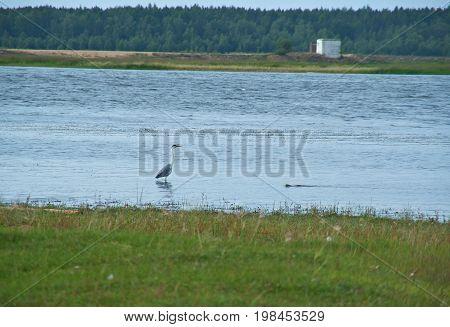 Barguzin River floodplain. Grey heron hunts  russia  summer landscape,