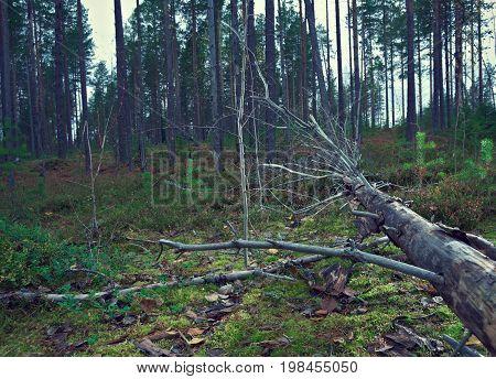 Fallen tree in the taiga forest  russia  landscape