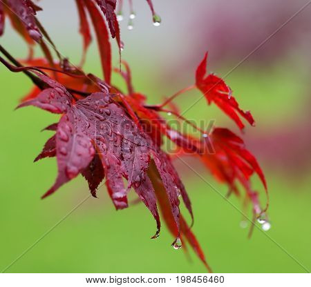 Leaves Of Red Japanese-maple (acer Japonicum) With Water Drops After Rain