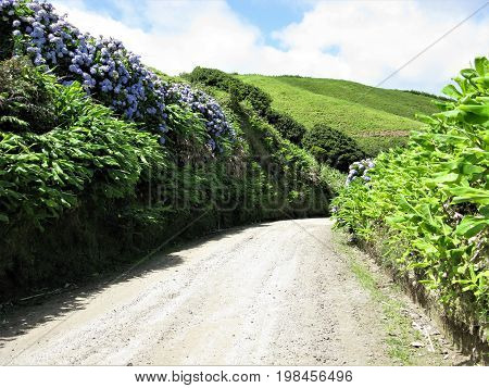Wild hydrangeas growing beside a track on Sao Miguel island, The Azores