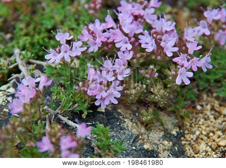 Thymus eubajcalensis near lake Baikal  Russia travel,