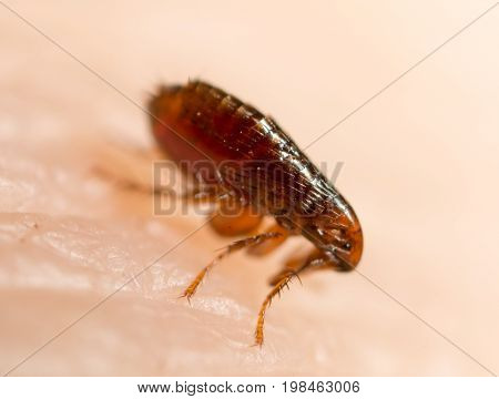 Flea on a human skin. Super macro