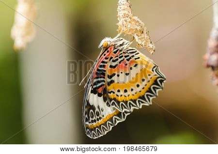 Beautiful butterfly is hanging with butterfly pupa