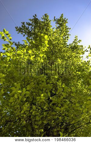 Foliage Looking Up With The Green Leaves And Blue Sky
