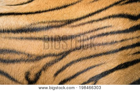 Background Textured Of Bengal Tiger Fur