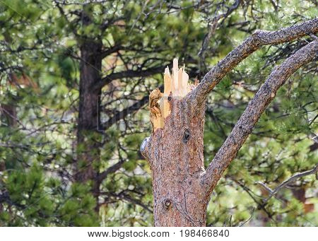 Snapped Pine Tree in a Colorado Forest