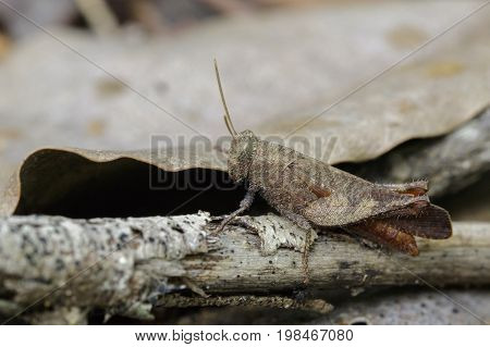 Image of a brown grasshopper (Apalacris varicornis) on dry timber. Insect Animal