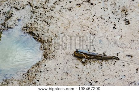 Top view of blue spotted mudskipper (Boleophthalmus boddarti) at mudflats