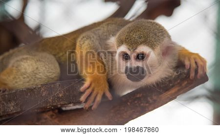 The image of a squirrel monkey is a mammal wild animal.