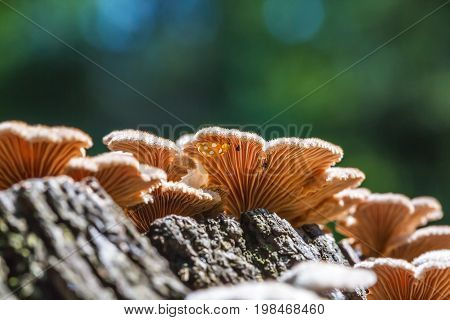 Inedible mushroom Melanistic ordinary ( lat. Schizophyllum commune ) has medicinal properties. Berdsk Novosibirsk oblast Siberia Russia August