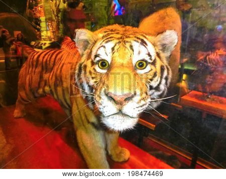 New York CITY, United States of America - May 01, 2016: The Stuffed tiger at American museum of Natural History at New York CITY, United States of America on May 01, 2016