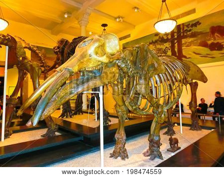 New York CITY, United States of America - May 01, 2016: Dinossaur Fossile model at the American museum of Natural History at New York CITY, United States of America on May 01, 2016: