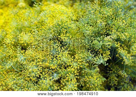 Flowering dill herbs plant in the garden, close up