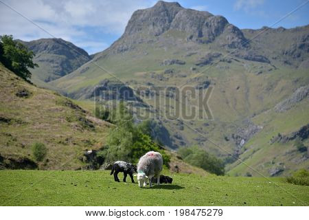 Sheep and lamb in Great Langdale, English Lake District